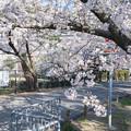 Photos: 桜 2021 (6)