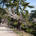 桜 2021 (9)