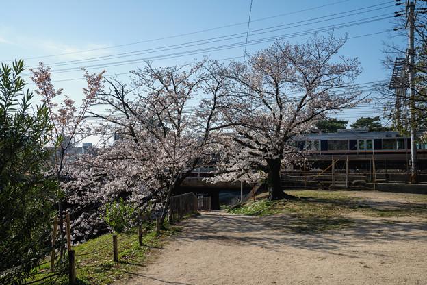 桜 2021 (10)