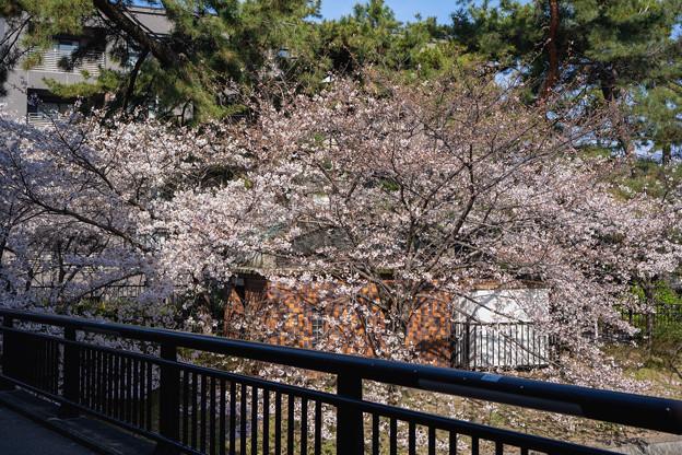 桜 2021 (27)
