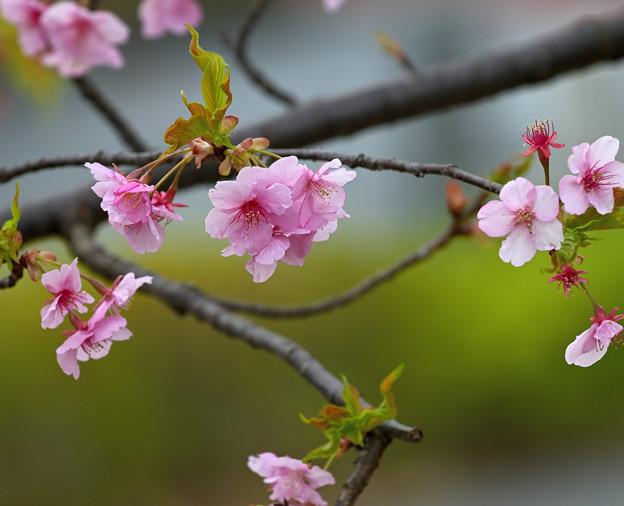 Photos: 桜 その1