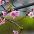 桜 その1
