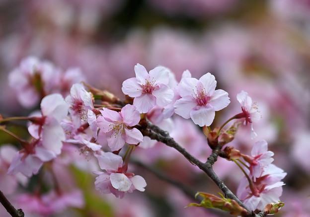 Photos: 桜 その2