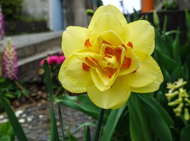 八重咲の黄水仙