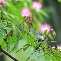 ネムの花とエナガ