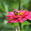 Photos: 蜂さん 夢中