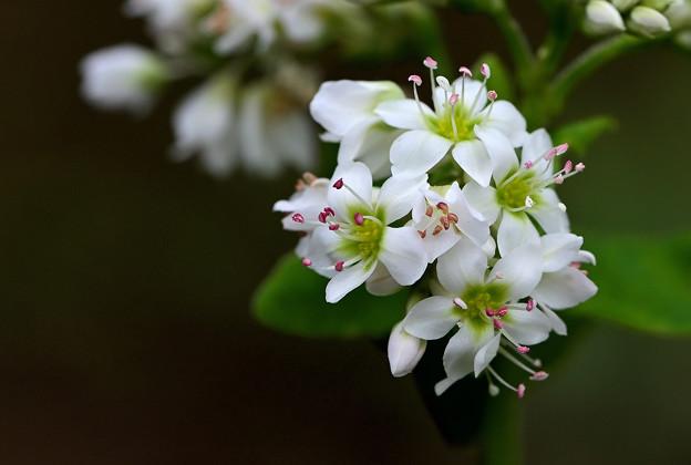 Photos: 蕎麦の花