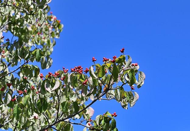 Photos: ハナミズキの赤い実