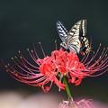彼岸花とアゲハ蝶  その1