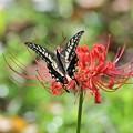 彼岸花とアゲハ蝶 その2