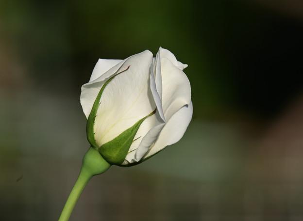 薔薇 正雪の蕾