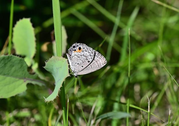 クロマダラソテツシジミ  裏翅