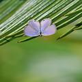 クロマダラソテツシジミ 表翅