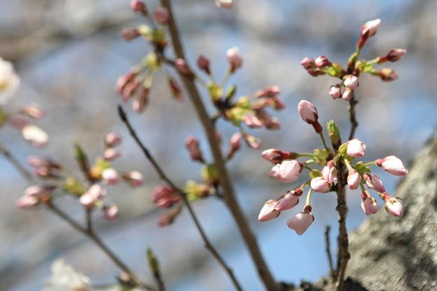 立岡の桜3
