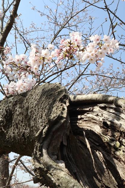立岡の桜4