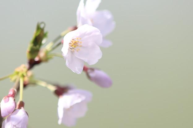 立岡の桜1