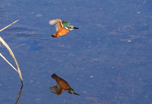 小さなカワセミ影写して飛ぶ~!