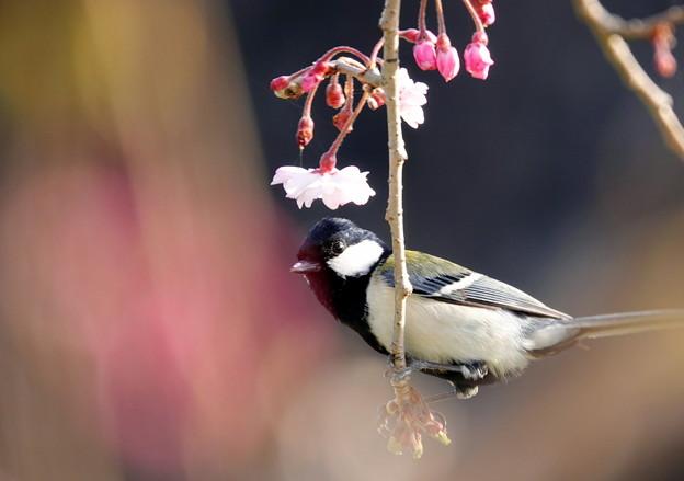 桜の枝先に・・・シジュウカラ