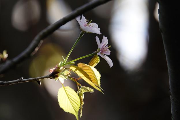 散り始めた枝に二つの花