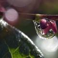 水引の花に雫。