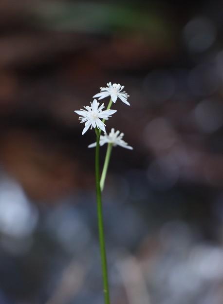 セリバオウレン(芹葉黄蓮) キンポウゲ科