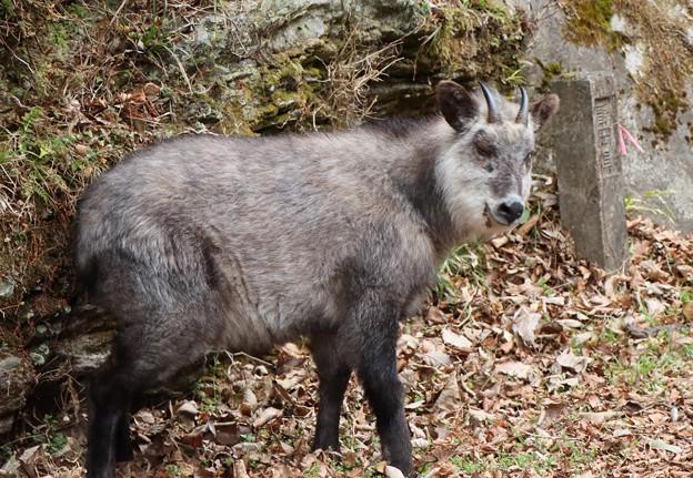 Photos: あっしにゃかかわりないことでごんす~※カモシカ(氈鹿、羚羊) ウシ科