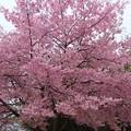 Photos: ヨウコウザクラ (陽光桜) バラ科