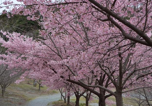 ヨウコウザクラ (陽光桜) バラ科