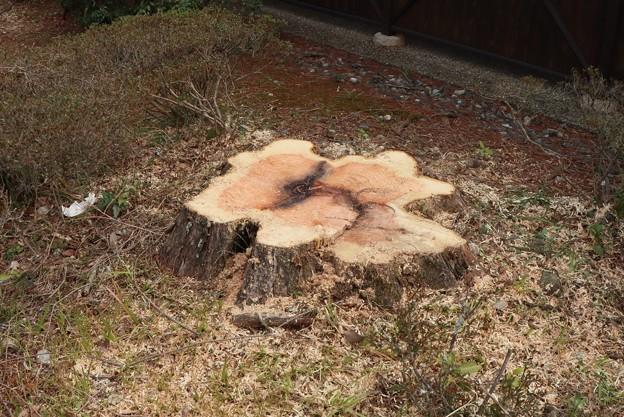 Photos: 森林公園森の家メタセコイア:和名:アケボノスギ(曙杉)スギ科伐採