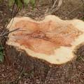 森林公園森の家メタセコイア :スギ科伐採