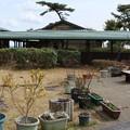 森林公園森の家メタセコイア:和名:アケボノスギ(曙杉)スギ科伐採