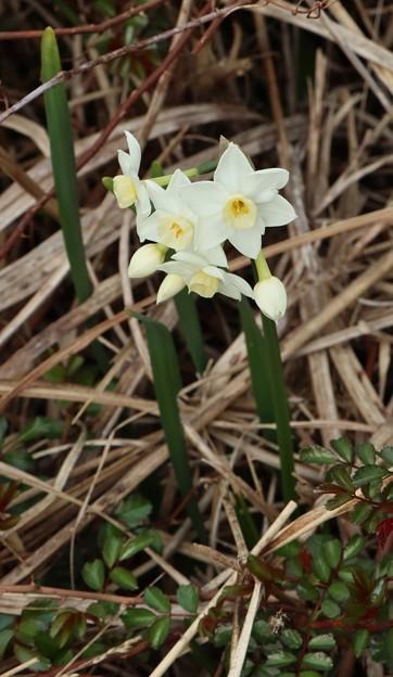 スイセン(水仙) ヒガンバナ科ペーパーホワイト