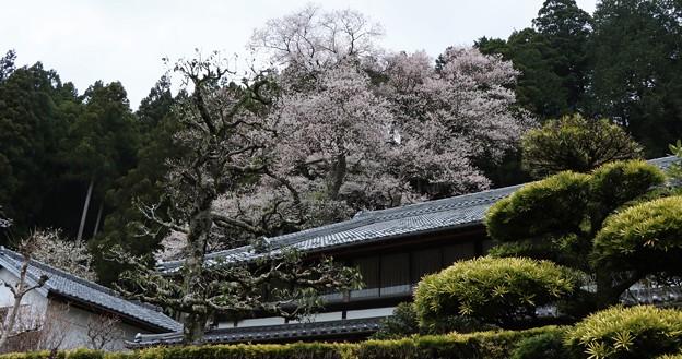 熊平の薄墨桜