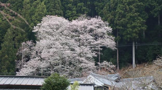 熊平の薄墨桜(エドヒガン)樹齢130年  樹高14m  幹周 3.3m