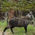 Photos: 最初アップ写真暈けのため交換富幕山の住人ではなく住カモシカ~カモシカ(氈鹿、羚羊) ウシ科?