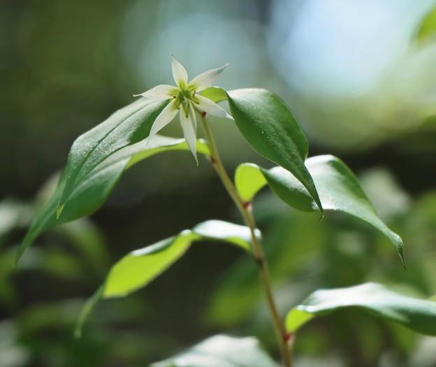 チゴユリ (稚児百合)  ユリ科