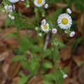 ハルジオン(春紫菀)  キク科