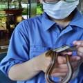 Photos: バードピアなっちゃんとシマヘビ(縞蛇) ナミヘビ科
