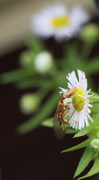 カマキリモドキ (蟷螂擬) と カマキリ モドキ科とハルジオン(春紫菀) キク科