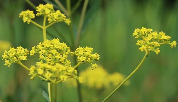 秋の「七種、ななくさ」オミナエシ(女郎花)