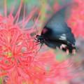 ヒガンバナ(彼岸花) ヒハンバナ科