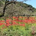 柿畑のヒガンバナ(彼岸花) ヒガンバナ科