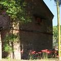 煉瓦倉とヒガンバナ(彼岸花) ヒガンバナ科