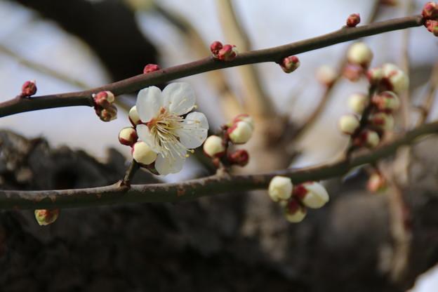 Photos: 白梅_公園 D7804