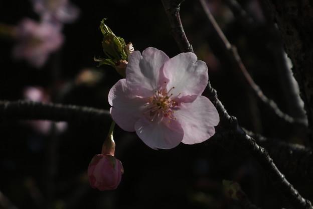 桜_土浦 F4531