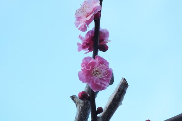 Photos: 紅梅_公園 F4512