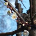 Photos: 白梅_公園 F4516