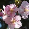 Photos: 桜_土浦 F4532