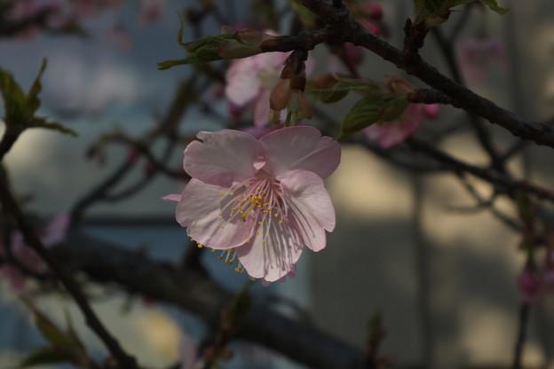 桜_土浦 F4533