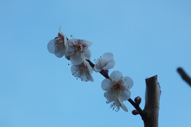 Photos: 白梅_公園 F4518